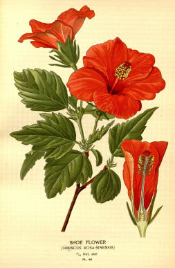 Antique flower floral prints and illustrations image collection 16