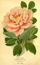 Antique flower floral prints and illustrations image collection 05