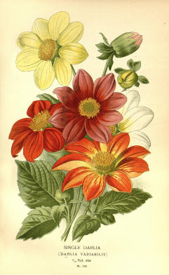 Antique flower floral prints and illustrations image collection 14