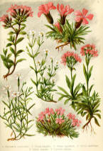 Antique flower floral prints and illustrations image collection 11