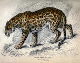 antique animal print image 03