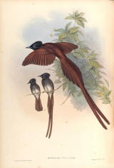 Antique bird prints image collection 10